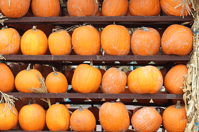 Utah Pumpkin Patches  The Ultimate Guide